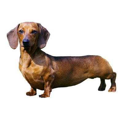 Haired Dachshund Shed by Miniature Smooth Haired Dachshund Breeds Purina