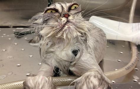 why do cats like bathtubs 15 animals that really hate bath time eye scream guff