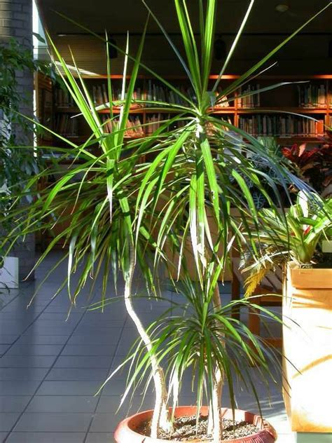 Potted Palm Images ? Which Are The Typical Palm Species