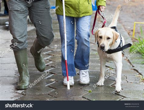 how do guide dogs get trained a blind person is led by golden retriever guide during the last for