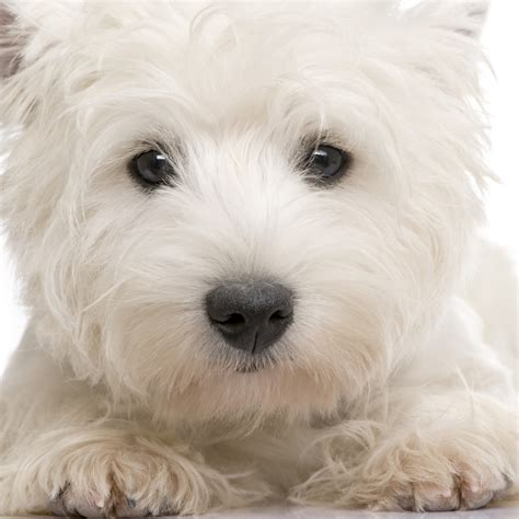 westie puppies westie health problems breeds picture