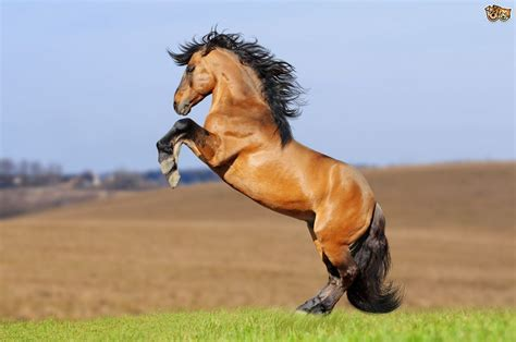 lusitano horse breed information buying advice