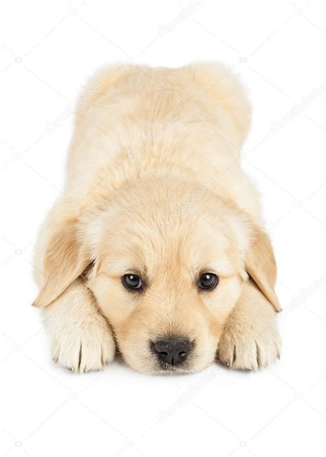puppy laying golden retriever puppy laying stock photo 169 adogslifephoto 43531333