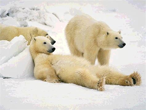 imagenes de osos wallpaper ositos polares wallpapers gratis imagenes paisajes
