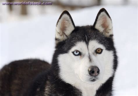 husky con occhi diversi stock photo of blue and brown eyed siberian husky standing