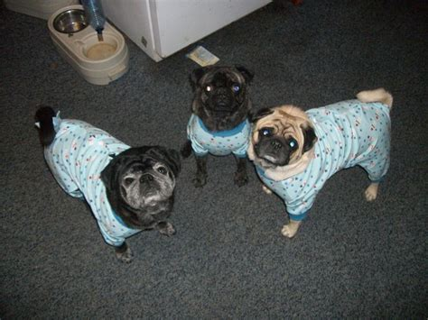 pug pajamas for pugs 180 best images about pug friendzy on posts pug and pug