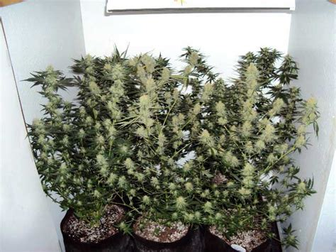 the unknown marijuana growing secret indoor and outdoor cannabis growing bible books experienced growers only controversial defoliation