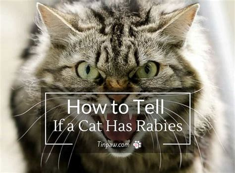 how much is rabies for how to tell if a cat has rabies symptoms warning signs and more tinpaw