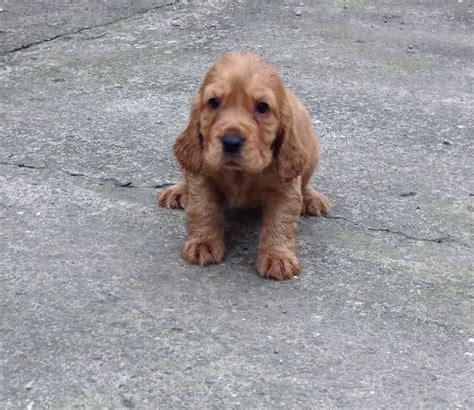 Cocker Spaniel Puppies in Swansea