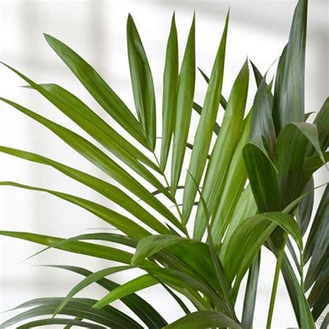 come curare piante da appartamento la kenzia piante appartamento curare la kenzia