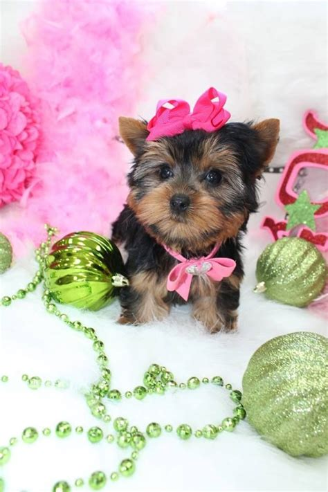 cup yorkies for sale 17 best images about t cup yorkies for sale in florida on home tea cups