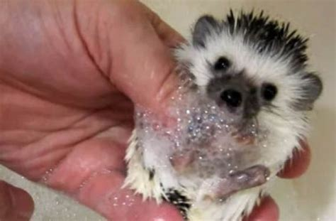 show me pictures of baby puppies adorable baby animals hedgehog hedgehogs pets show me pictures of