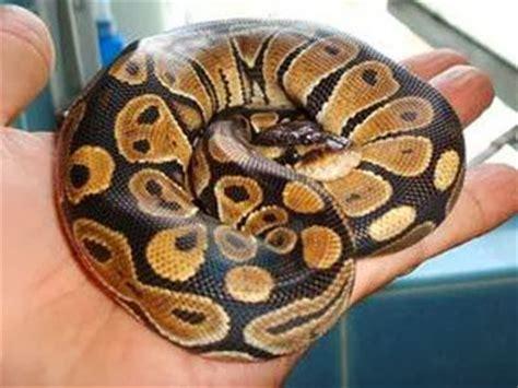 tutorial python getopt jenis jenis ular yang cocok dipelihara hewan indonesia