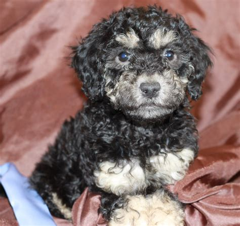mini goldendoodles rescue home how to adopt