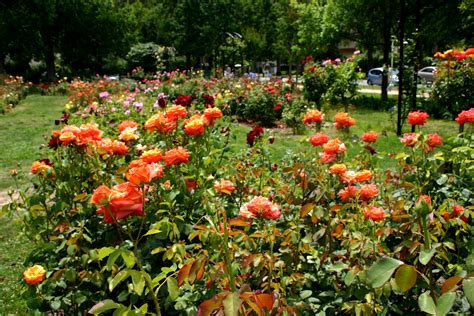 backyard rose gardens rose front garden ideas 17 extraordinary rose garden