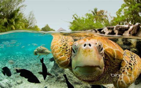 Green Sea Turtles in Bora Bora   HD Wallpapers
