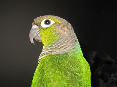 green cheeked conure green cheek conure birds pinterest