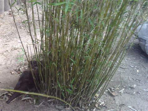Bambus Garten Pflanzen Kölle by Bambus Phyllostachys Als Nat 252 Rlicher Sichtschutz