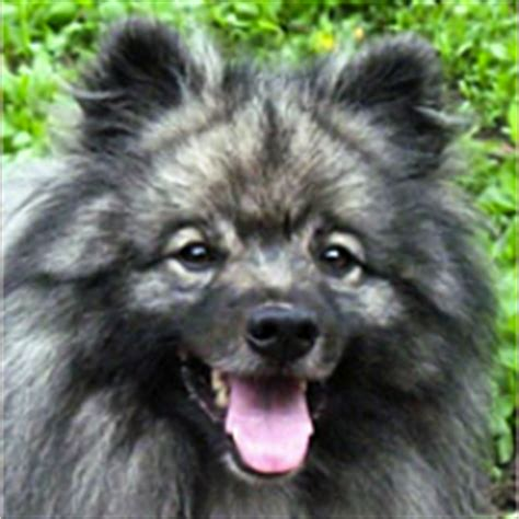 pomeranian animal shelter pomeranian rescue animals for adoption rescuemeorg design bild