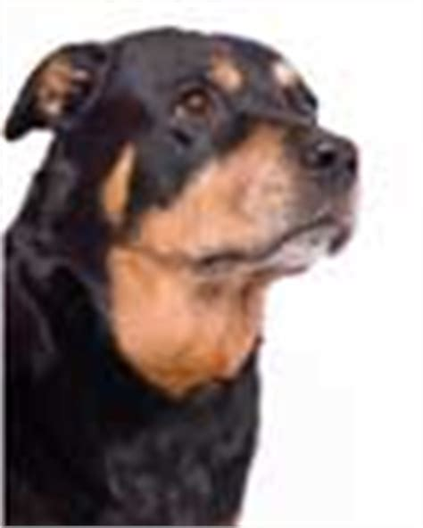 strong names rottweiler rottweiler names find and unique rottie names