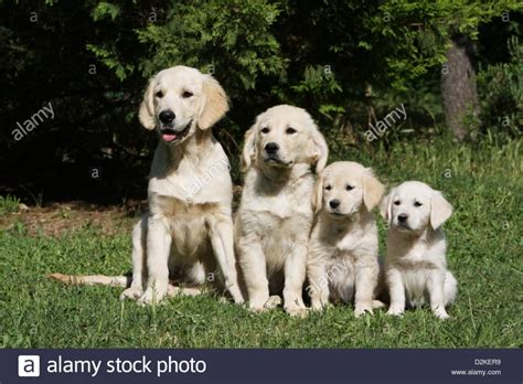 golden retriever size 2017 golden retriever size height pictures images wallpapers