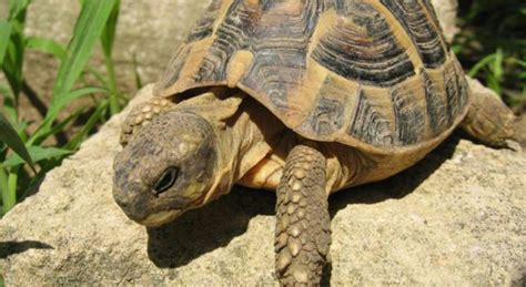 lade per tartarughe di terra come capire se la tartaruga 232 maschio o femmina