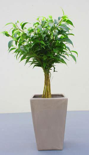 Pflanzen Die Keine Sonne Brauchen 4286 by Birkenfeige Ficus Benjamina Pflege Und Schneiden
