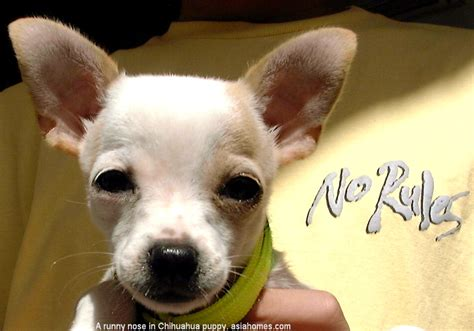 puppy runny nose 0909singapore chihuahua kennel cough viral bacterial infections tumours veterinary
