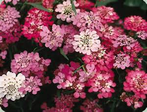 Forget Me Not Flower Meaning - gallery for gt annual candytuft