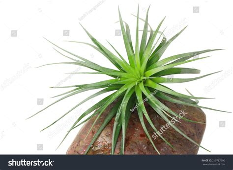 what is the scientific name for air air plant scientific name tillandsia on stock photo 219787990
