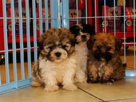 yorkie poo puppies columbia sc yorkie tzu puppies dogs for sale in columbia south