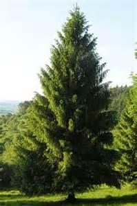 Picea abies l h karst