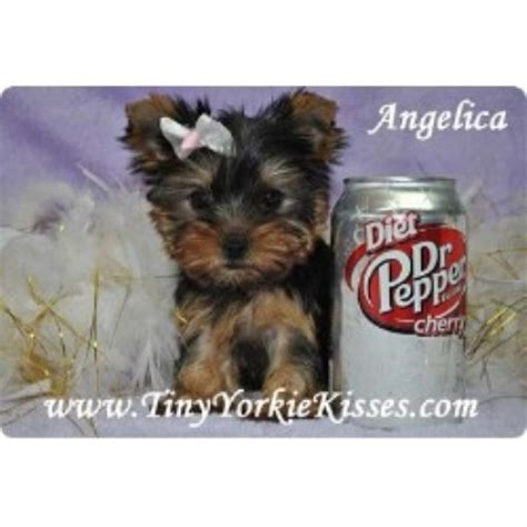 yorkie rescue sacramento tiny yorkie kisses terrier breeder in vacaville california listing id 17575