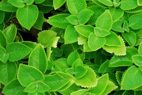 daun torbangun  khasiatnya ahlirenovcom