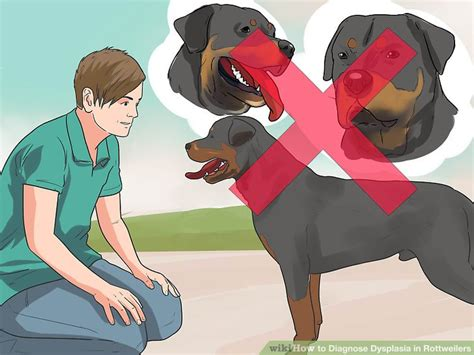 hip dysplasia in rottweilers treatment how to diagnose dysplasia in rottweilers 14 steps with pictures