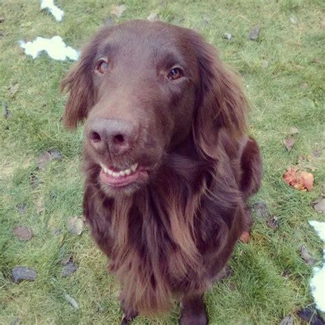 flat coated retriever flat 1503149471 flatcoated retriever flatcoated retriever flat coated retriever dog and cat