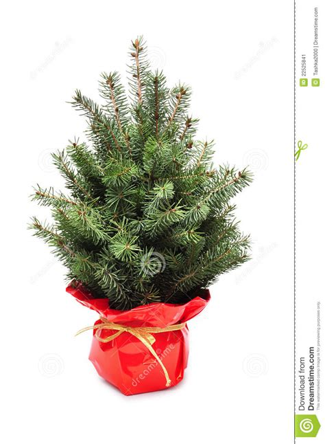young plant of christmas tree stock image image 22525841