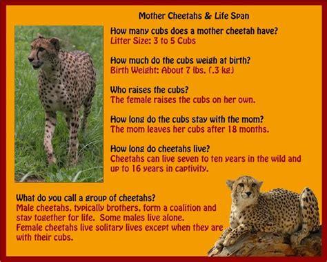 Cheetah Omega 25 best ideas about cheetah crafts on safari crafts safari animal crafts and