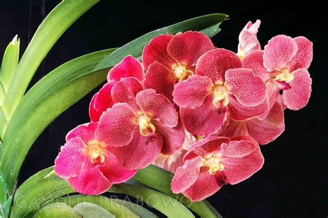 Pot Anggrek Vanda orchids gandhiprabowo