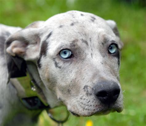 louisiana catahoula leopard louisiana catahoula leopard info temperament puppies pictures