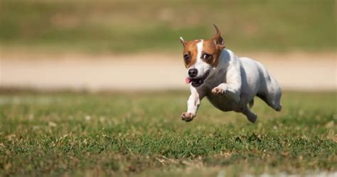 Jack Russell Terrier Facts - Pet Care Facts