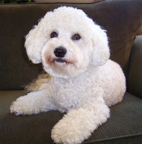 poochon haircuts bichon poo bichon poodle mix info puppies pictures