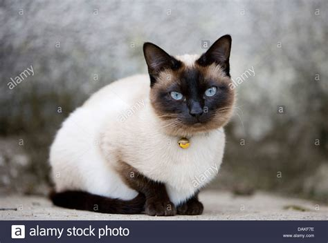 8 Reasons To Get A Siamese Cat by Siamese Siamese Cat Felis Silvestris F Catus Sitting