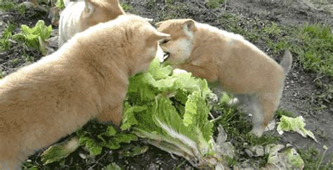 cabbage for dogs gif find on giphy
