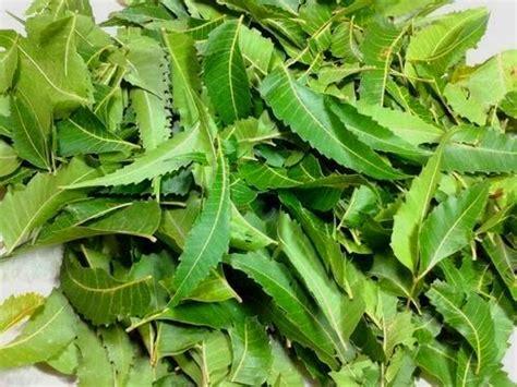 Daun Sengugusenggugusrigunggu 1kg 7 tanaman pestisida nabati yang terbukti efektif mengendalikan hama kutu kutuan serta cara