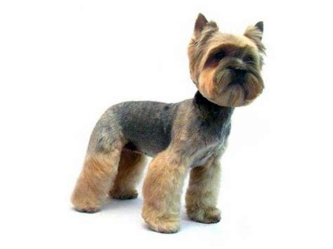 groomed yorkie yorkie haircuts puppy cut book covers