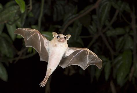 volpe volante australiana are bats really blind