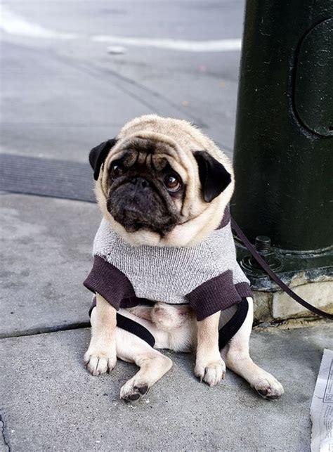 Depressed Pug Meme - a depressed pug