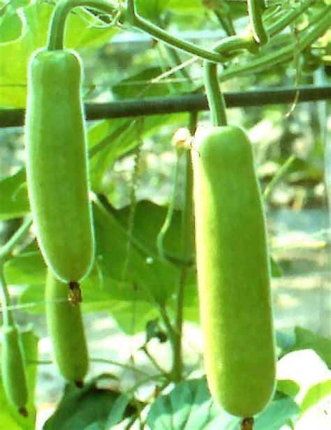 Trellis Net Bottle Gourd Seeds
