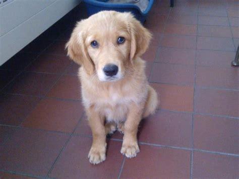 golden retriever puppies mobile al dogs quizlet nl